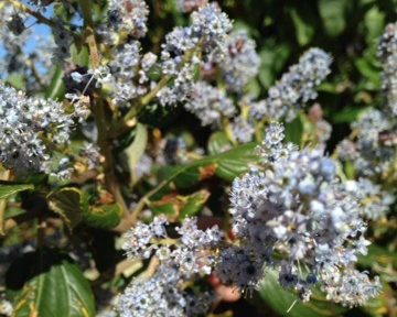 Ceanothus shrub with blue flowers.
